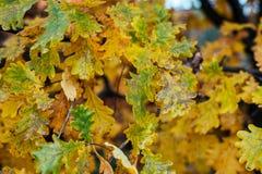 美好的绿色在从树的秋叶饺子把背景留在 秋天秋天朋友生叶在结构天气木头之下 在分支的绿色黄色叶子 库存图片
