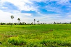 美好的绿色米领域和非常尼斯蓝天 免版税图库摄影