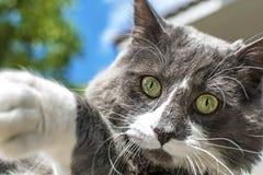 美好的绿色cat& x27接近的看法;s眼睛 灰色和白色猫使用室外 美丽的织地不很细毛皮 库存图片