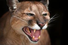 美好的美洲狮关闭 免版税库存图片