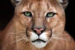 美好的美洲狮关闭 图库摄影