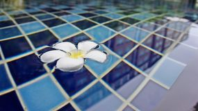 美好的羽毛开花漂浮在游泳池背景 免版税库存照片