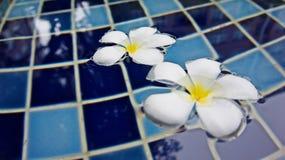 美好的羽毛开花漂浮在游泳池背景 库存照片