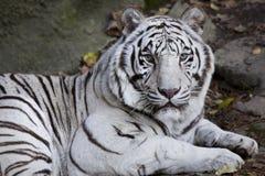 美好的老虎白色 免版税库存照片