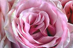 美好的背景 特写镜头照片,一朵开花的桃红色玫瑰 免版税库存图片