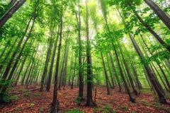 美好的自然在早晨在有太阳的有薄雾的春天森林里 图库摄影