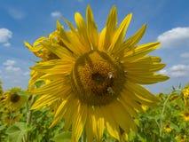 美好的自然由向日葵揭幕在一个热的夏日 免版税库存图片