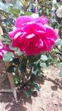 美好的自然粉色上升了斯里兰卡的花 库存照片