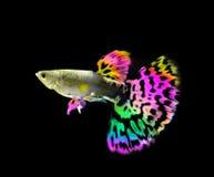 美好的色彩艳丽的胎生小鱼鱼游泳 免版税库存照片