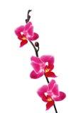 美好的花兰花兰花植物粉红色 库存图片