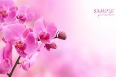 美好的花兰花粉红色 免版税库存图片