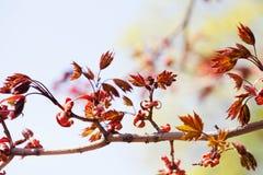 美好的花卉春天五颜六色的背景 与新鲜的红色叶子的槭树分支 软的焦点,浅深度  库存照片