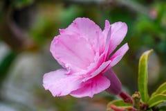 美好的花园粉红色 库存图片