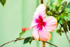 美好的花木槿粉红色 免版税库存照片