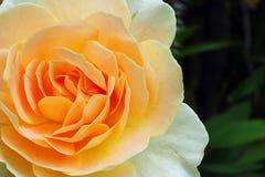美好的花束日重点查出橙色玫瑰s形状华伦泰白色 免版税库存照片