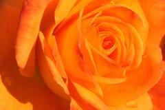 美好的花玫瑰黄色 库存照片