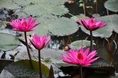 美好的花百合粉红色 库存照片