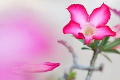 美好的花粉红色 免版税图库摄影