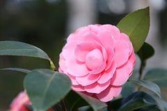 美好的花粉红色 图库摄影