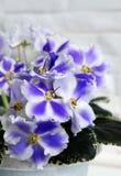 美好的花非洲堇 库存照片