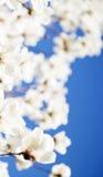 美好的花绽放在春天 免版税库存图片