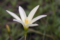 美好的花Hippeastrum johnsonii埋葬(属石蒜科) 图库摄影