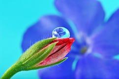 美好的芽露滴花粉红色 库存照片