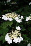 美好的荚莲属的植物绽放在一好日子,绿色背景 免版税库存照片
