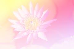 美好的莲花紫色 库存图片