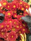 美好的菊花红色 库存图片
