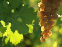 美好的葡萄白色 免版税图库摄影