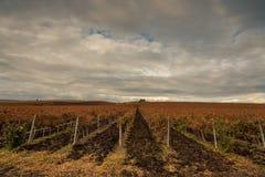 美好的葡萄领域 免版税库存照片