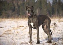 美好的蓝色丹麦种大狗狗身分 库存图片