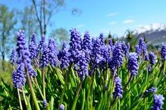 美好的蓝色穆斯卡里botryoides在夏天开花,亦称葡萄风信花 免版税库存图片