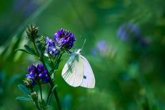 美好的蝴蝶白色 免版税库存照片
