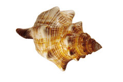 美好的螺旋查出的贝壳 免版税图库摄影