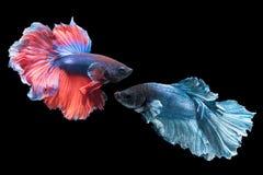 美好的被隔绝的红色和蓝色战斗的鱼 图库摄影