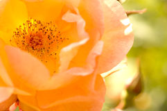美好的详细资料玫瑰黄色 图库摄影