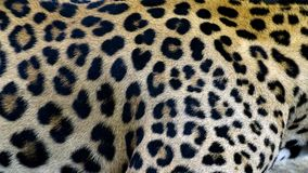 美好的豹子皮肤纹理背景 库存照片
