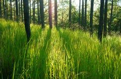 美好的越南风景,大叻杉木密林 库存照片