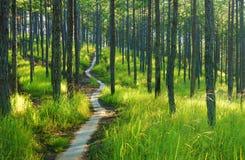 美好的越南风景,大叻杉木密林 免版税图库摄影