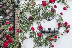 美好的进展的玫瑰丛上升的白色墙壁周围的黑金属框架 免版税图库摄影