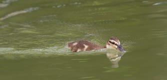 美好的逗人喜爱的一点野鸭鸭子游泳 免版税库存照片