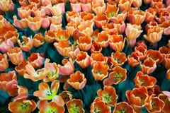 美好的郁金香显示里面新加坡植物园 库存图片