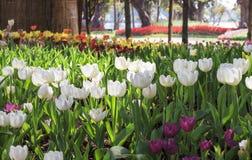 美好的郁金香领域在庭院里 库存照片