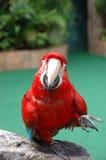 美好的金刚鹦鹉猩红色 免版税图库摄影