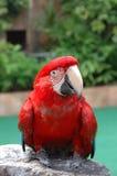 美好的金刚鹦鹉猩红色 图库摄影