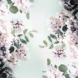 美好的金合欢开花框架、春天和夏天自然 免版税库存图片