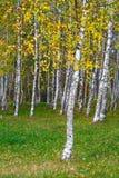 美好的金黄橙色秋天,桦树森林背景 库存照片
