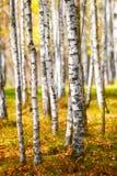 美好的金黄橙色秋天,桦树森林背景 库存图片